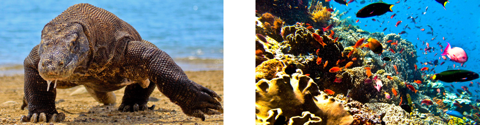 Komodo Dragons (Photo Credit: Adhi Rachdian) and aquatic life in Komodo (Photo Credit: Ilse Reijs and Jan-Noud Hutten)
